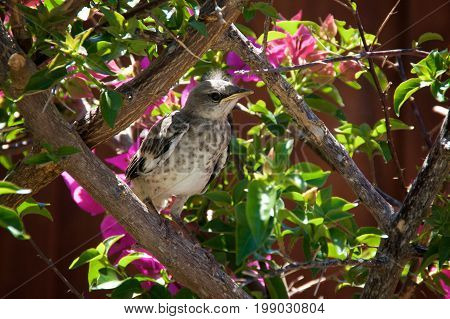 Baby Northern Mockingbird In Bougainvillea Branches