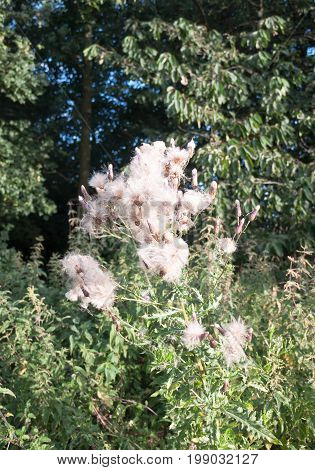 Gorgeous Close Up Lot Of Detail Of Many Fluffy White Milk Thistle Flower Heads