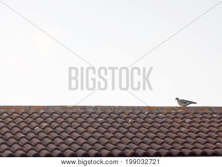 a pigeon resting on a house roof top at sun set; UK