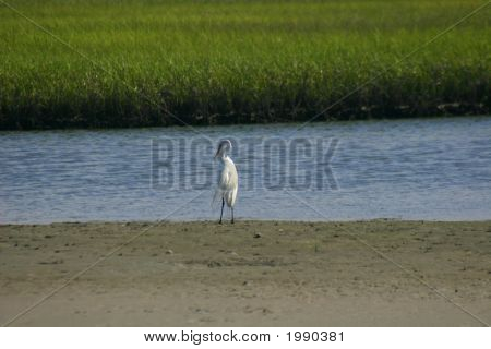 Egret In Intercoastal Waterways