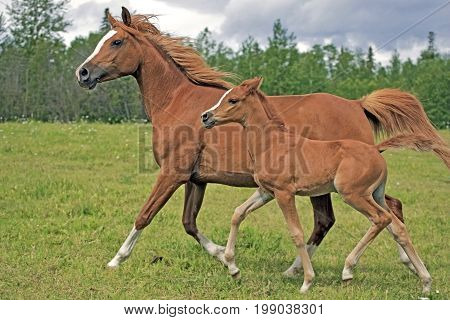 Horse Arabian Chestnut Mare and filly running together in meadow