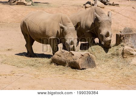 Two African wildlife safari rhinoceros