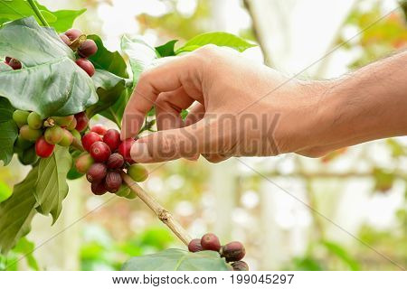 Hand picking red Arabica coffee beans on coffee tree - hand focused