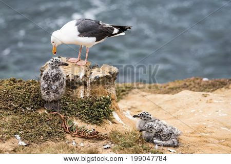 Mom and her babies on the cliffs in La Jolla, California USA