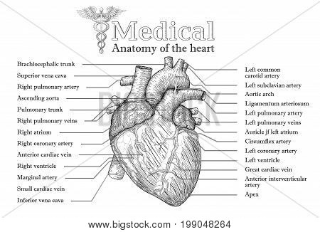 Anatomical Human heart hand drawn poster with inscription of vein arteria aorta. Medicine educational Vector illustration. Body organ high detailed. Medical study info graphic banner