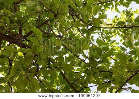 Green Crown Of Apple Tree