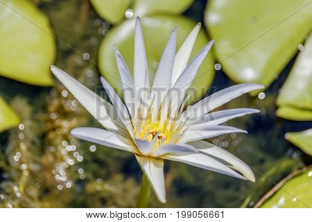 Single Tropical Day-Blooming Water Lily, Water Lily Dauben Nymphaea - daubenya floating on leaves