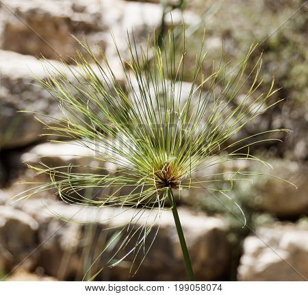 Head of Cyperus papyrus against a background of large stones