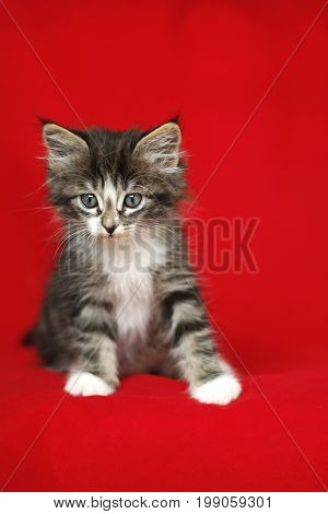 A small Norwegian kitten tabby gray black and white in sitting position with look down on a red background