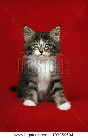 A small Norwegian kitten tabby gray black and white in a sitting position with forward and attentive look on a red background