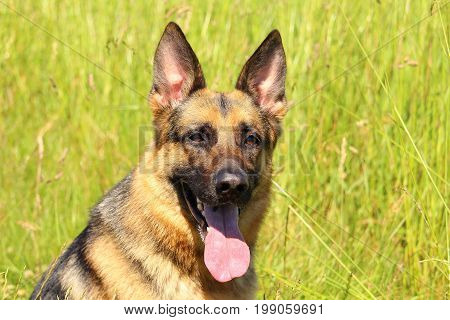 Portrait of a German shepherd dog with attentive eyes and who pushes his tongue against a background of nature
