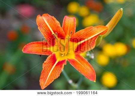 Bloomed Lily Flower