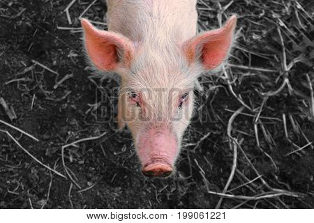 Portrait of a pink piglet on monochrome background. Head in the center of a frame. Top view.