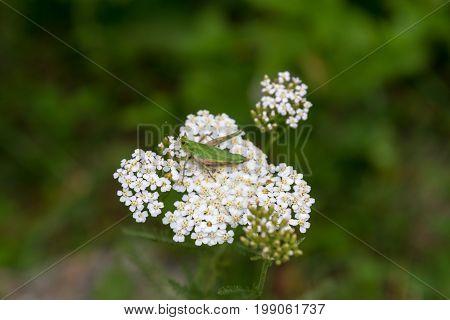 Grasshopper On White Flower