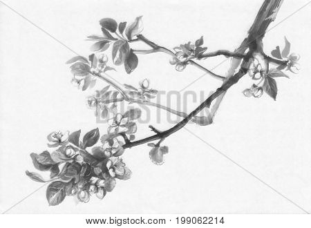 A branch of apple tree flowering ink painting. Traditional chinese painting