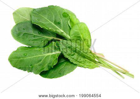 Bundle Of Sorrel Rumex Acetosa, Paths