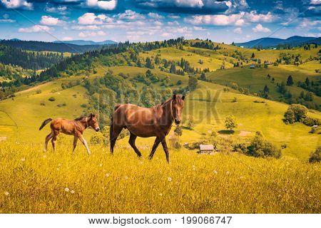Horse with little foal grazing on a meadow in a Ukrainian Carpathian mountain valley.