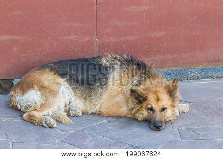 Old Eastern European Shepherd lying at the gate