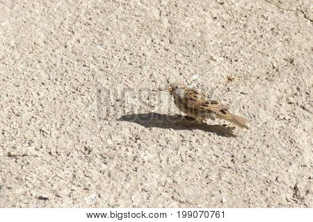 Sparrow on a concrete floor in the sun