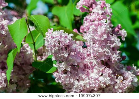 a bush of light white and pink terry lilac, a cluster of flowers in full bloom on a branch, fresh, spring, lit by the sun,