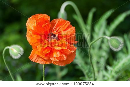 papaver eye catcher, red-orange large terry flower poppy grows in a natural environment, a sunny day, a beautiful big flower in full bloom and two buds