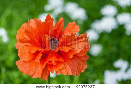 papaver eye catcher, red-orange large terry flower poppy grows in a natural environment, a sunny day, a beautiful big flower in full bloom, in the background small white flowers blurry