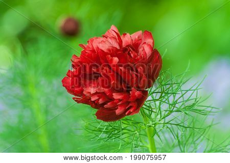 paeonia tenuifolia, peony finelygreen, terry, beautiful, bright red flower with thin foliage, against the background of green vegetation, spring, day,  in the background one small blurred bud,
