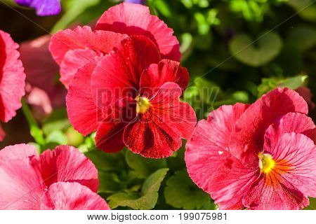 viola  three flowers of red color spring sunny day, full bloom, against a background of green foliage