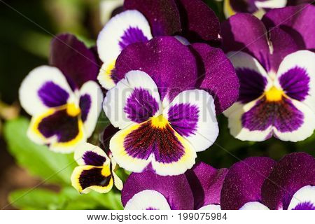 viola a lot flowers of beautiful lilac-burgundy color with white edging and yellow core, spring sunny day, full bloom,