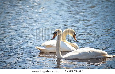 two swans swim side by side along clear blue water in a pond, sunny day, beautiful birds, spring, light, bright, tone photo,