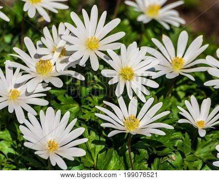 anemone blanda white splendour, a group of white flowers grow in the garden, large white petals and a fluffy yellow core, against a background of green leaves, illuminated by the sun, spring period