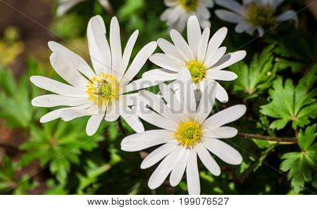anemone blanda white splendour, white flowers, three pieces grow in the garden, large white petals and a fluffy yellow core, against the background of green leaves, illuminated by sun, spring period,