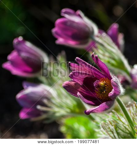 pulsatilla, one flower close-up with several flowers in the background, lilac, purple, pink, fleecy leaves and petals, spring day, natural view of nature, large and beautiful,