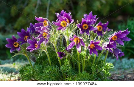 pulsatilla, a bush of flowers in the garden, in the background coniferous branches, growing in nature, lilac, violet, pink, fleecy leaves and petals, spring, sunny,