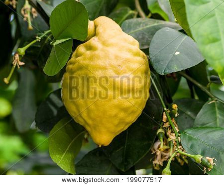 a large yellow lemon grows on a branch with dark green leaves, next to the small fruit is still green, the flowers have faded and crumbled petals,