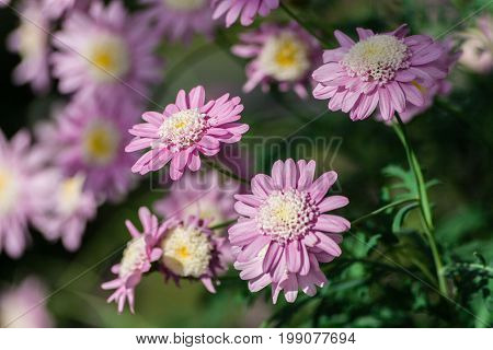 chrysanthemum corianum, a group of pink flowers with a white and yellow lace core, tender lilac shade petals, in the background green foliage and blurred chrysanthemum flowers