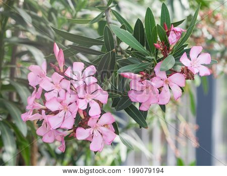 group of beautiful oleander delicate pink exotic, tropical flowers, bunch, light shot in the street,