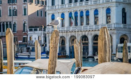 Venice Italy February 2015: View of gull sitting on wooden stump with beautiful architecture on background in Venice Italy