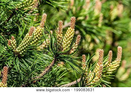 green growing cones on the branches of a pine coniferous tree in spring, sunlight, round green balls,