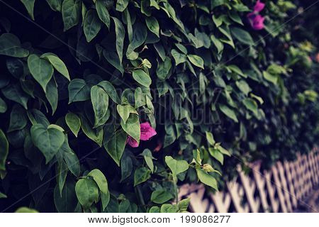 Beautiful green Bougainvillea bush with purple flowers behind white shabby wooden lattice fence in a garden. Dark vintage noir background