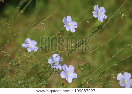 Flax flowe, Linum perenne in the morning garden