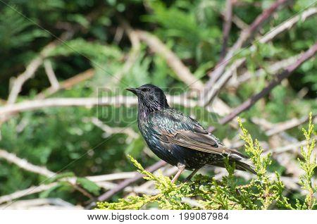 Starling in conifer tree in domestic garden