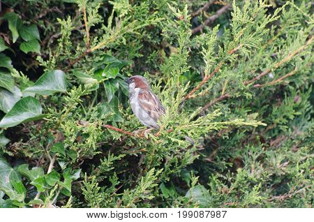 Common House Sparrow in conifer tree in garden