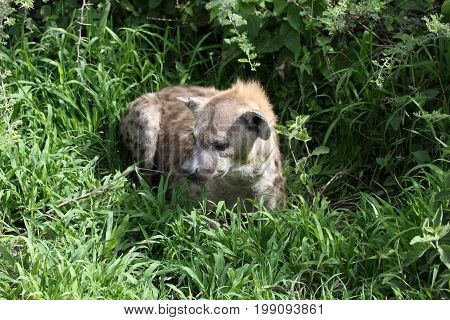 Hyena Kenya Africa Savannah Wild Animal Mammal