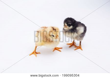 chickens birds isolated on the white background