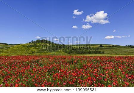 Wild Poppy Fields