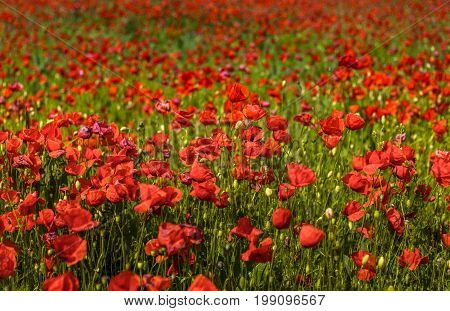 Field of corn poppy flowers in blossom.