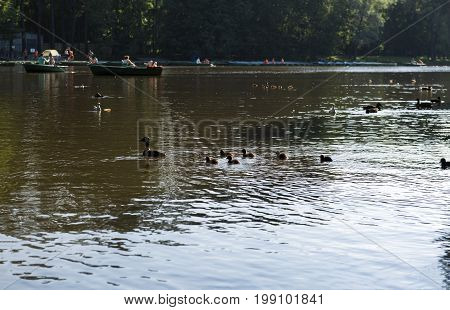 duck with ducklings Chicks babies floating on the pond water boats people birds Park