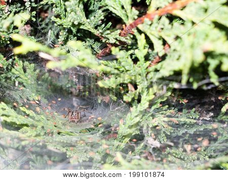Spider (labyrinth Spiders - Agelena Labyrinthica) Inside Deep Web Big Waiting Crouched Predator For