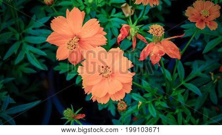 Zinnias are one of the easiest plants to grow, as they grow quickly and bloom heavily. Zinnia flowers make a massive burst of color in your garden, and they attract butterflies.